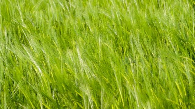 Green wheat fields in the wind video