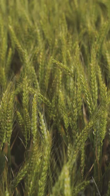 Green Wheat Stalks In The Field Close-Up video