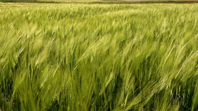 Green wheats swaying in the wind.