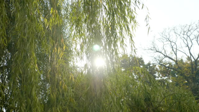 Green willow tree leaves blown by the wind on a beautiful sunny day in park video