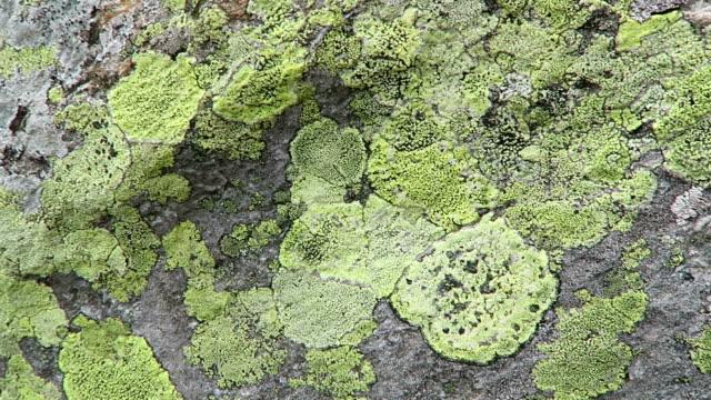 Green yellow lichen on alpine rock. lichen rhizocarpon