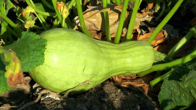 Green zucchini under leaf video
