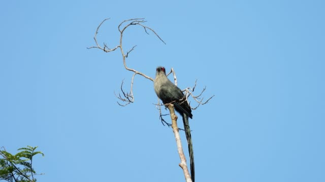 green-billed malkoha bird catching on the tree in the forest. - lunghezza video stock e b–roll