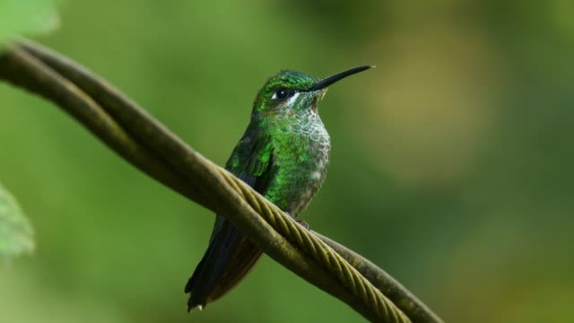 Green-crowned Brilliant - Heliodoxa jacula large, robust hummingbird that is a resident breeder in the highlands from Costa Rica to western Ecuador.