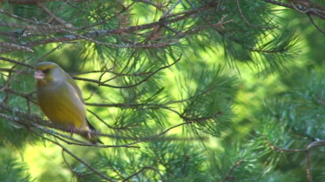 Greenfinch video