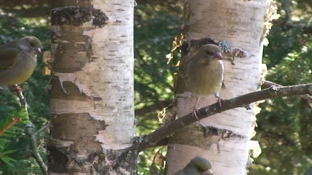 vídeos de stock, filmes e b-roll de greenfinches luta - bétula