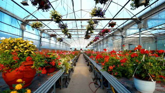 Greenhouse flower nursery. Closeup wide angle of greenhouse potted flower plants. There are many flower sorts on the stalls and hanging from the ceiling construction in the frame with an aisle in the middle. potted plant stock videos & royalty-free footage