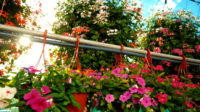 Greenhouse flower nursery. Closeup wide angle of greenhouse potted flower plants. There are many flower sorts hanging from the ceiling construction as the camera passes by. potted plant stock videos & royalty-free footage