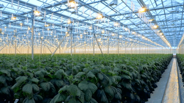 Greenhouse lamps are shining onto cucumber plants for better cultivation. 4K. video