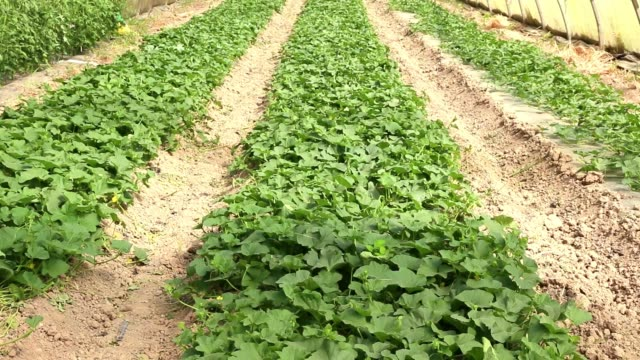Greenhouse of melons. Young melon seedlings in an agricultural greenhouse in the form of a tunnel. cultivated land stock videos & royalty-free footage