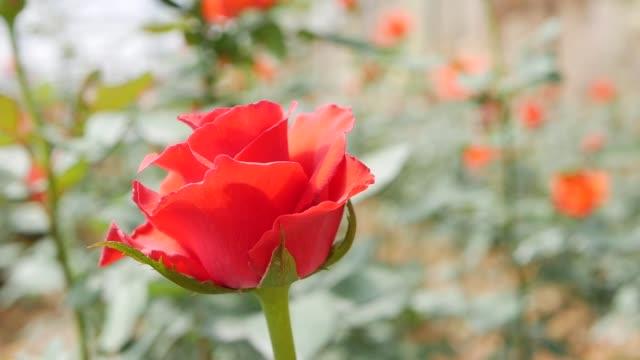stockvideo's en b-roll-footage met de rozen die van de serre in het kleine bedrijfs tuinieren groeien - floral line