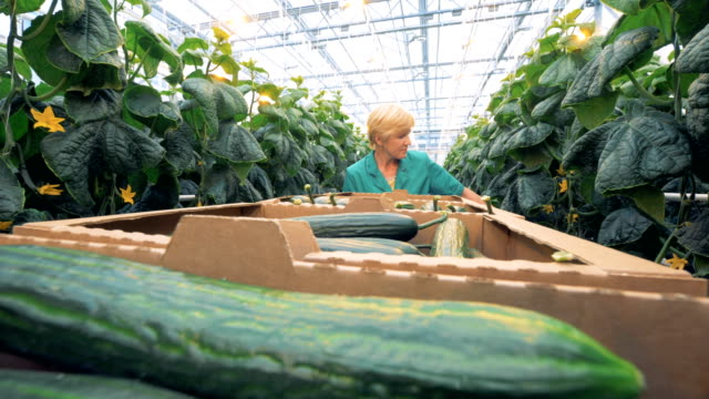 Greenhouse worker searches for cucumbers to pick them. Crop collecting concept. 4K.