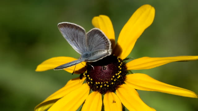 Greenish blue butterfly feeds on common sunflower Evergreen Colorado video