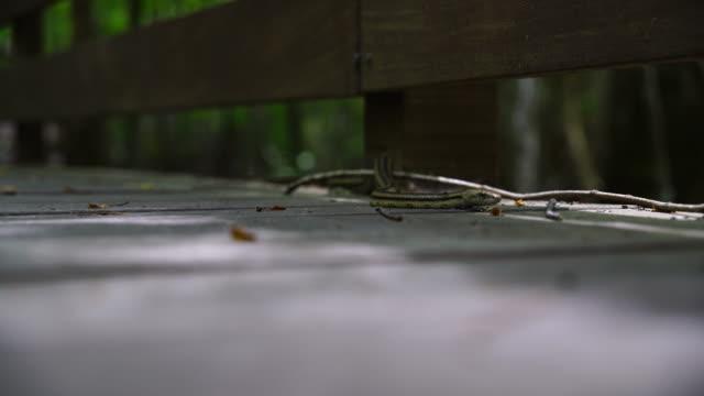 Greenish Rat Snake