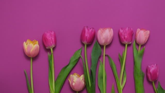 Greeting card with colorful spring tulips flower. Holiday bouquet. Concept of Mother's Day, Birthday or Valentine's Day Greeting card with colorful spring tulips flower. Holiday bouquet. Concept of Mother's Day, Birthday or Valentine's Day celebrations. Stop Motion Animation, Top View, Flat lay, Time lapse birthday background stock videos & royalty-free footage