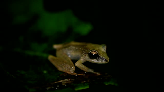 Grenada Frog An ultra close-up of the rare, endangered, Grenada Frog. amphibian stock videos & royalty-free footage