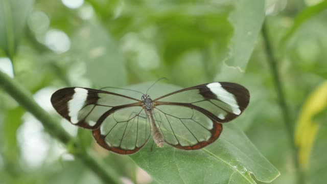 Greta oto, the glass-winged butterfly. Greta oto, the glass-winged butterfly, closing and opening wings butterfly insect stock videos & royalty-free footage