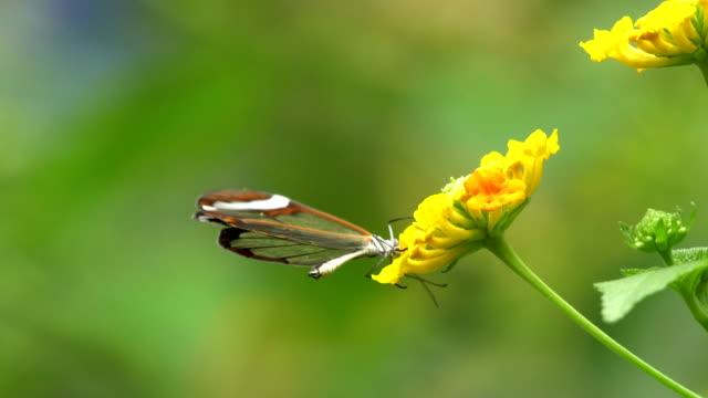 Greta otto butterfly on flowers