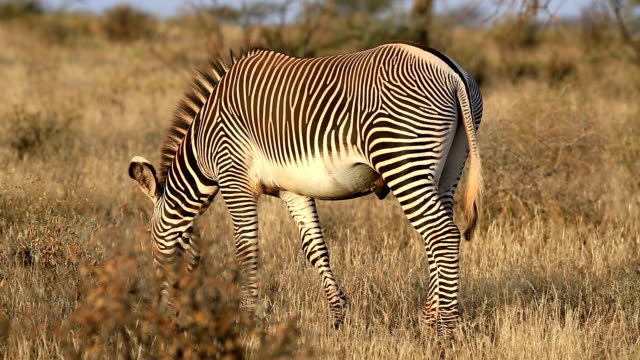 zebra di grevy - equino video stock e b–roll