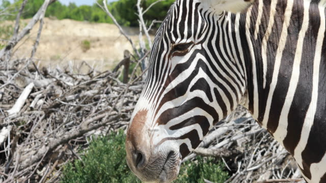 grevy's zebras a windy day - equino video stock e b–roll