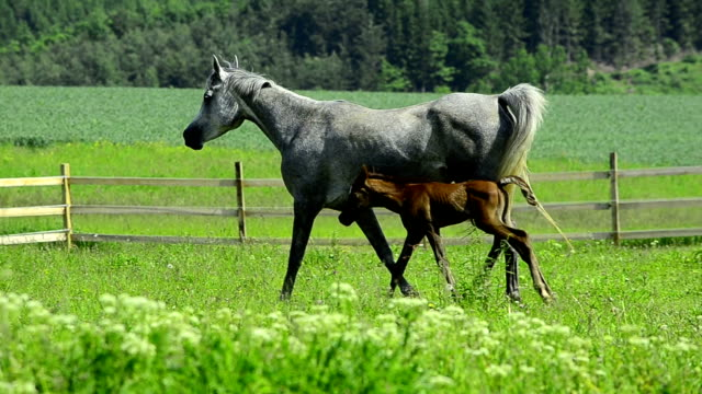 grey Asil Arabian mare with foal video