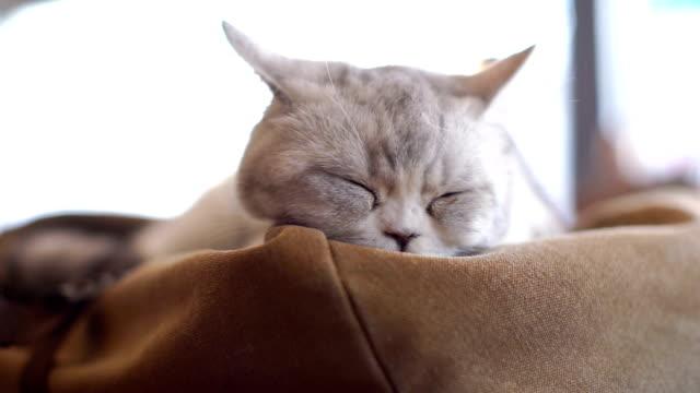 Grey Cat Resting on a Sofa