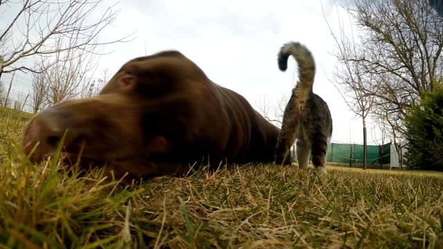 Grey cat with a brown labrador in the grass video