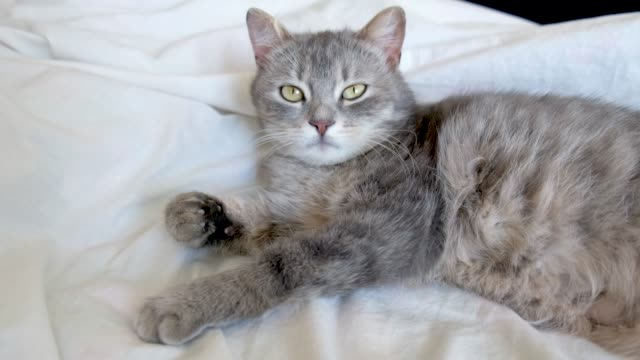 grey cat with green eyes resting and relaxing on white bed. - gatto soriano video stock e b–roll