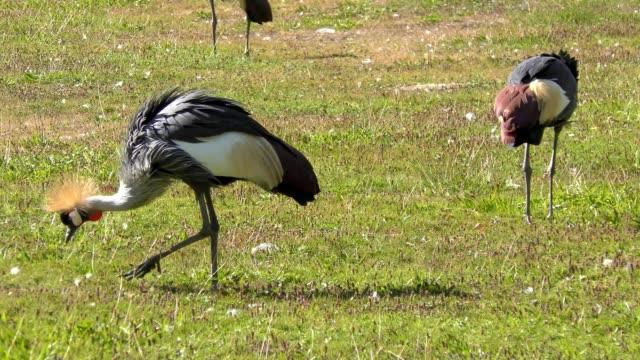 grey crowned crane - fruchtwasserbeutel oder dottersack stock-videos und b-roll-filmmaterial
