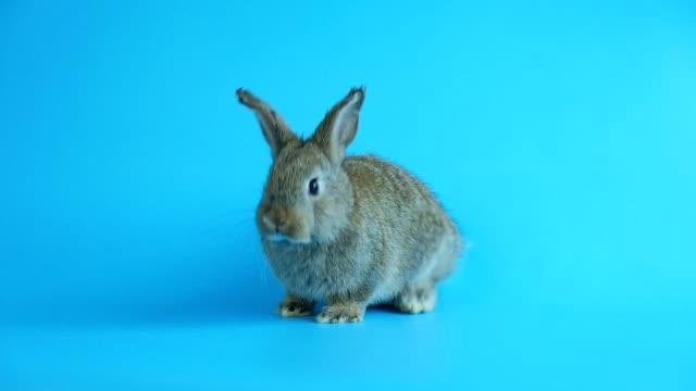 gri sevimli tavşan mavi ekran arka planda hareket - kemirgen stok videoları ve detay görüntü çekimi