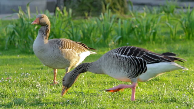 grey geese eating grass two grey geese eating green grass in a park scavenging stock videos & royalty-free footage