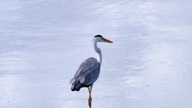 Grey Heron in South Africa. The grey heron is alone near the beach  - african bird concept in nature - close-up view