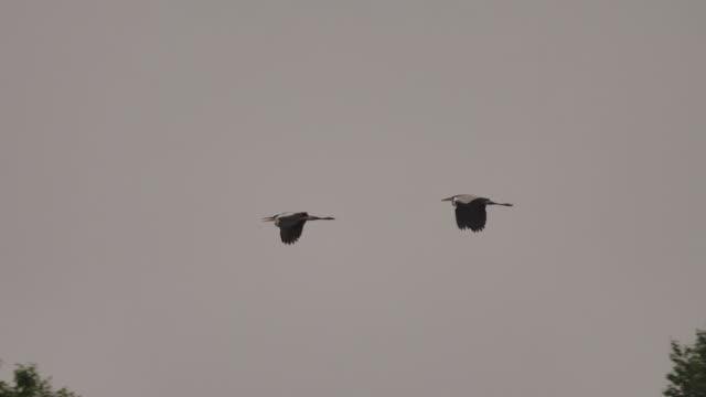 Grey heron (Ardea cinerea) - Khingan Nature Reserve Grey heron (Ardea cinerea), captured in Khingan Nature Reserve pond stock videos & royalty-free footage