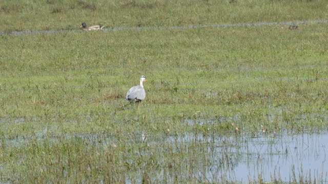 Grey Heron walks through marsh video