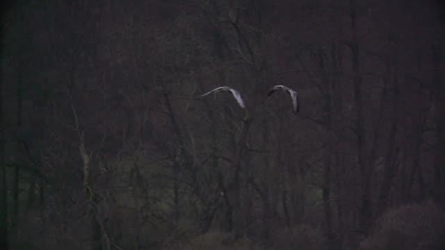 アオサギ (アルデーアかび) 一緒に沼上空を飛ぶ - 2匹点の映像素材/bロール