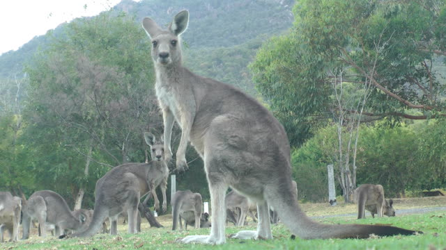 Grey Kangaroos Grey kangaroos grazing in country Victoria, Australia. kangaroo stock videos & royalty-free footage