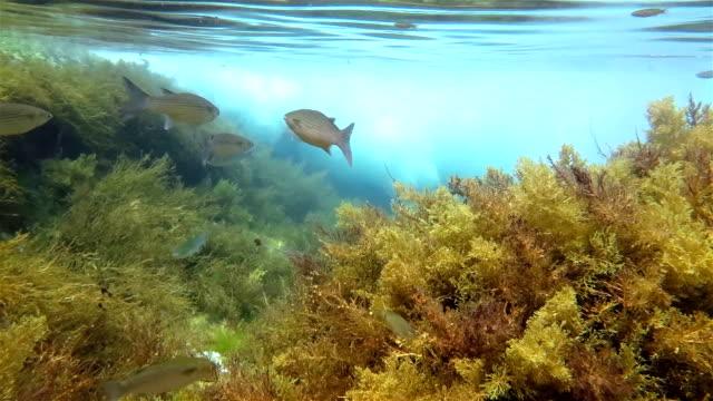 Grey Mullet in the atlantic ocean on azores School of grey Mullet in the atlantic ocean at azores. kelp stock videos & royalty-free footage