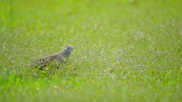 grå duva i gräsmark, slow motion - single pampas grass bildbanksvideor och videomaterial från bakom kulisserna