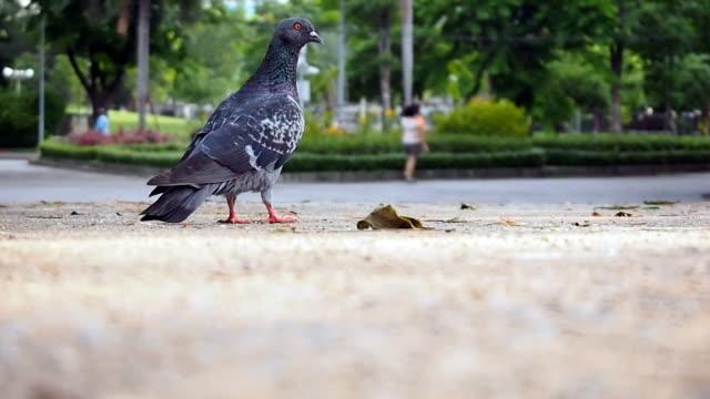 Grey Pigeons video