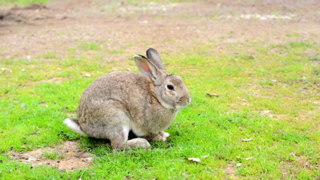 Grey rabbit on grass video