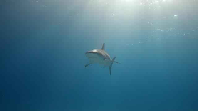 stockvideo's en b-roll-footage met grijze ertsaderhaai met zonlicht - eén dier