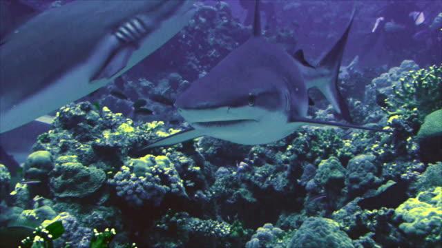 grey reef sharks, red sea video