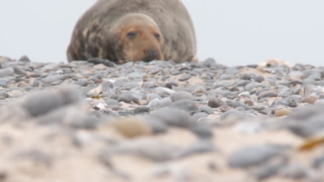 grey seal video