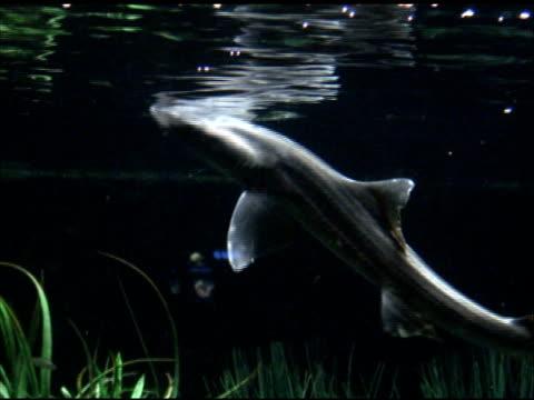vidéos et rushes de poule gris lisse houndshark/requin - nageoire caudale