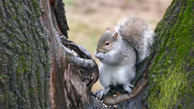 Grey squirrel on a tree eating food