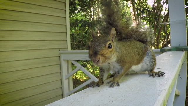 Grey Squirrel A young Grey Squirrel scavenges for food on a residential front porch. scavenging stock videos & royalty-free footage
