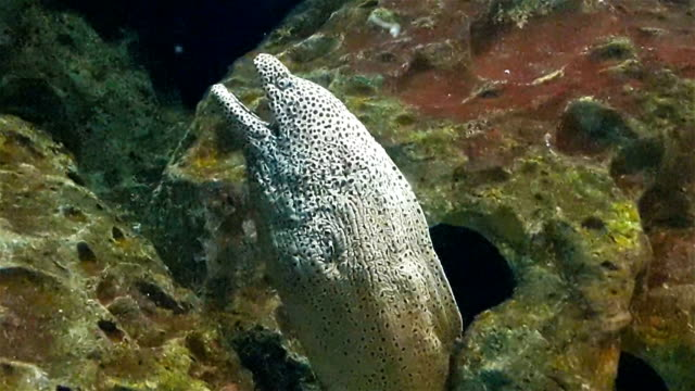 grey tropical fish rises from hole in rock in big aquarium, close up - immerse in the stars video stock e b–roll