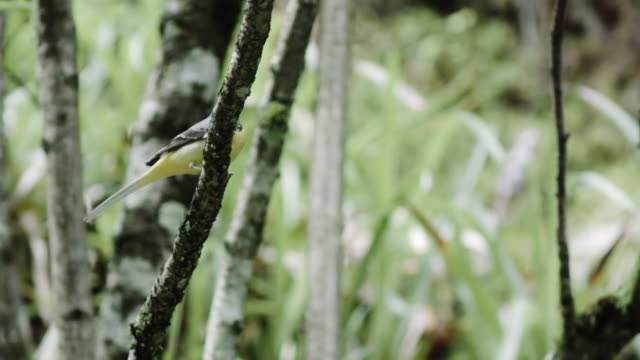 Grey wagtail (Motacilla cinerea) in forest Nature views in Germany's Black Forest region zoology stock videos & royalty-free footage