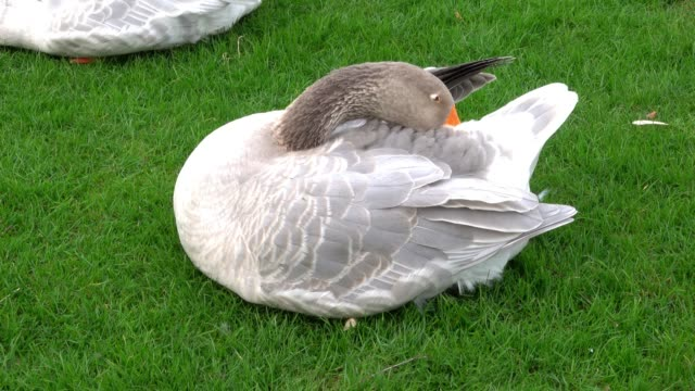 Greylag goose, scientific name Anser anser, sits on a green lawn and plucks and maintains her plumage