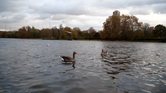Greylag Gooses Swimming In Hyde Park
